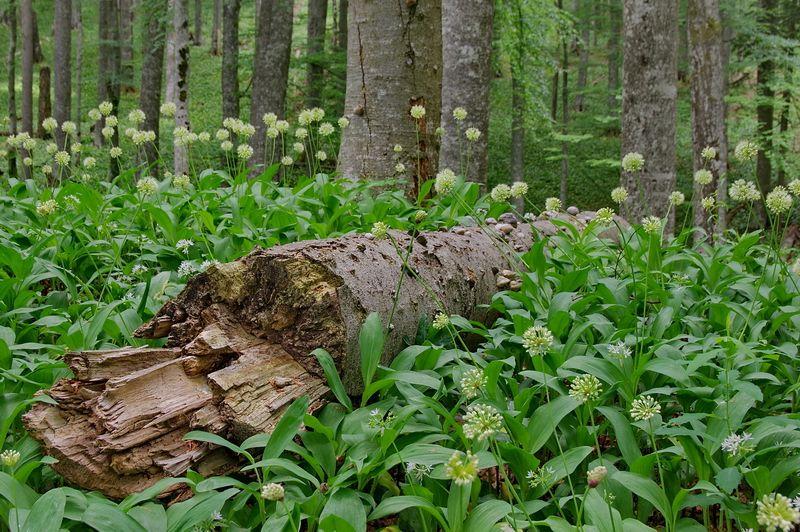 The Krokar virgin forest – LIFE Kočevsko
