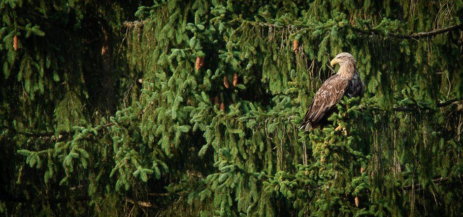 White-tailed eagle  (Haliaeetus albicilla )