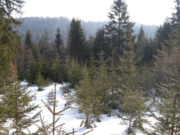 Zimski popis sledi gozdnega jereba na Kočevskem