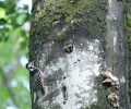 The search for three-toed and white-backed woodpeckers' nests