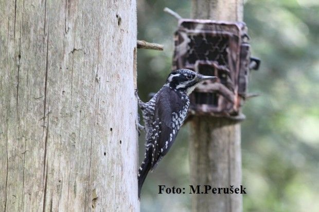 Eating habits of three-toed woodpecker