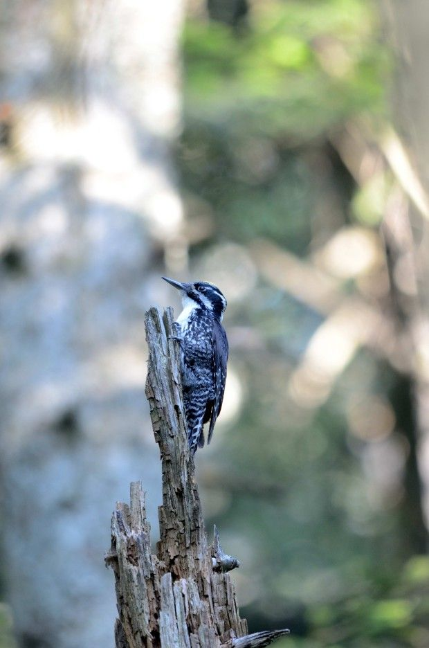 "Article titled »Three-toed woodpecker« in ""Our natural heritage section"" of Dolenjski list newspaper"
