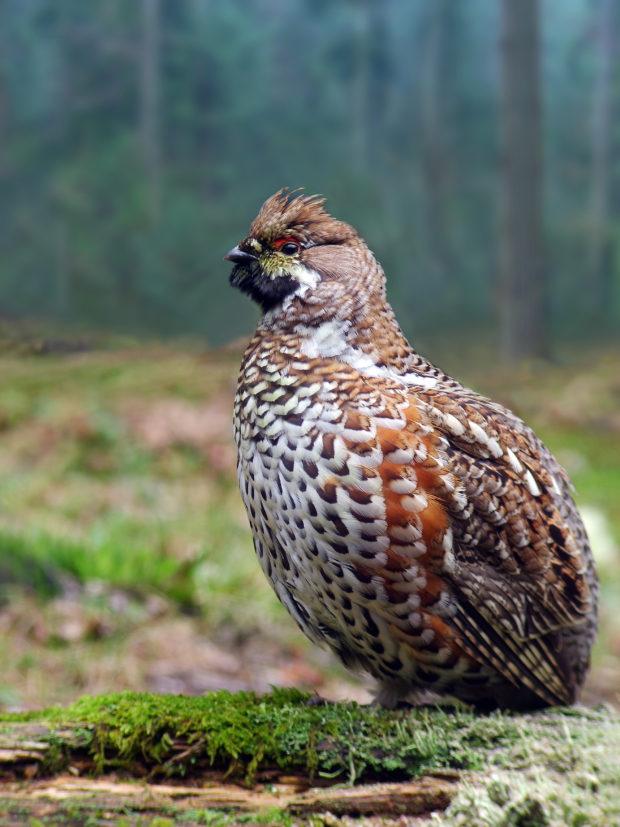 Ornitologi iz Društva za opazovanje in proučevanje ptic Slovenije (DOPPS) popisujejo gozdnega jereba