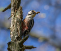 Status and protection of the white-backed woodpecker (Dendrocopos leucotos) in Slovenia
