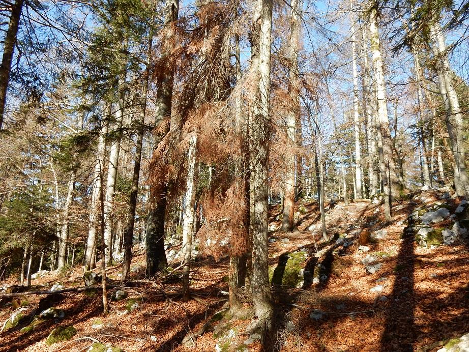 Premerba odmrlega drevja v okolici gnezdilnih dupel triprstega detla na površini ekocelice v GGE Velika gora, foto: ZGS