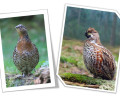 Report on the grouse population recordings
