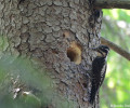 Nesting of the Eurasian three-toed woodpecker