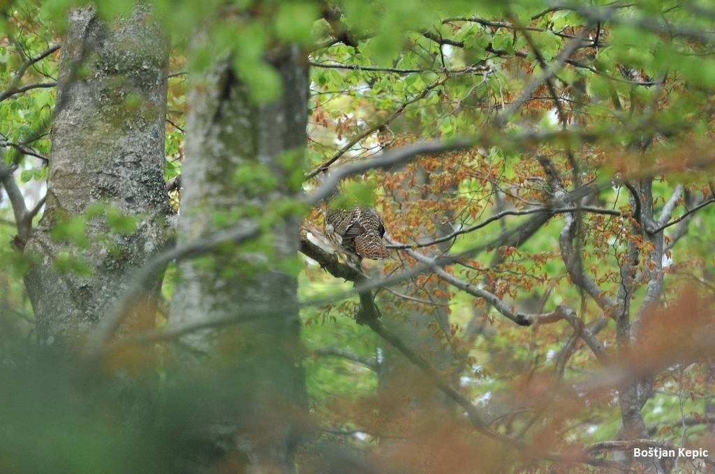 Kura divjega petelina, foto: Boštjan Kepic