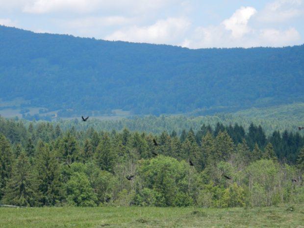 Preparation for establishment of feeding site for white-tailed eagle