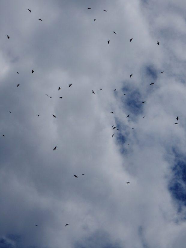 Census of non-territorial ravens in Natura 2000 Kočevsko