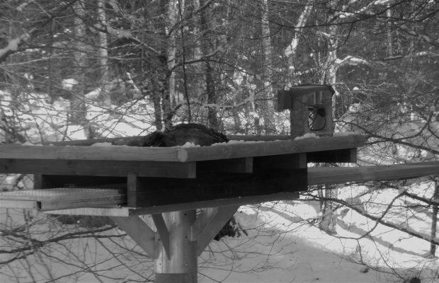 Prvi zimski obrok za orla belorepca
