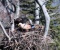 First sightings at the white-tailed eagle nesting site