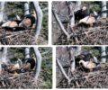Dogajanje na gnezdu orla belorepca