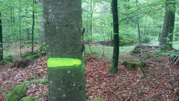 Beginning of pole-size stand tree marking in Briga forest management unit