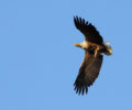 A new leaflet about the White-tailed eagle released
