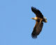 A new leaflet about the White-tailed eagle was released