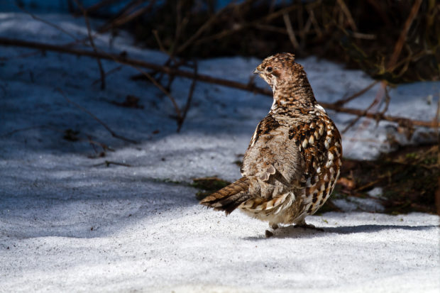 Results on hazel grouse monitoring in Kočevsko now online