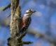 Dietary base of white-backed woodpecker at Kočevsko