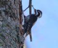 Izvajanje monitoringa belohrbtega in triprstega detla na območju Natura 2000 Kočevsko